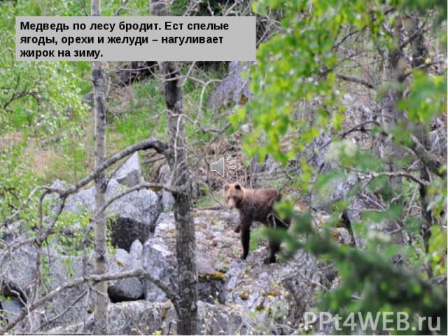 Медведь по лесу бродит. Ест спелые ягоды, орехи и желуди – нагуливает жирок на зиму.