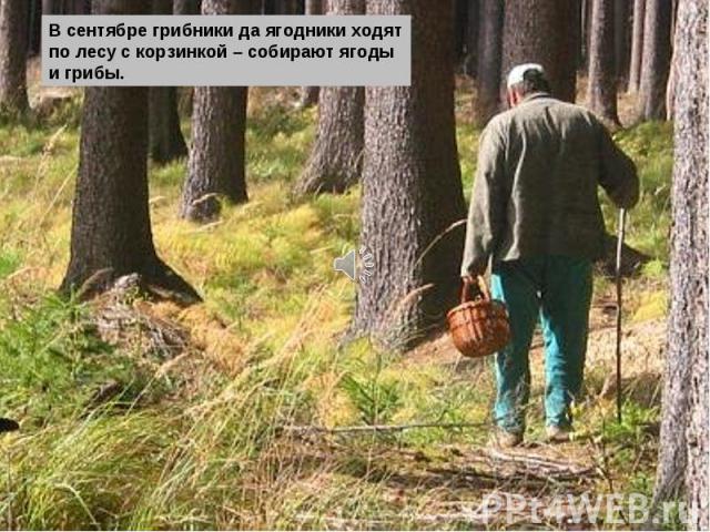 В сентябре грибники да ягодники ходят по лесу с корзинкой – собирают ягоды и грибы.