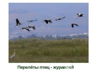 Перелёты птиц - журавлей