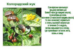 Колорадский жук Если взрослые жуки выходят при длине светового дня более15 часов