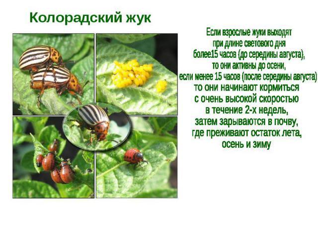 Колорадский жук Если взрослые жуки выходят при длине светового дня более15 часов (до середины августа), то они активны до осени, если менее 15 часов (после середины августа), то они начинают кормиться с очень высокой скоростью в течение 2-х недель, …