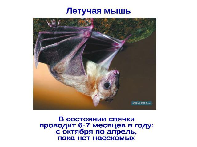 Летучая мышь В состоянии спячки проводит 6-7 месяцев в году: с октября по апрель, пока нет насекомых