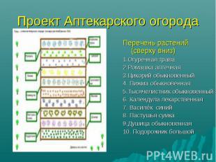 Проект Аптекарского огорода Перечень растений (сверху вниз) 1.Огуречная трава 2.