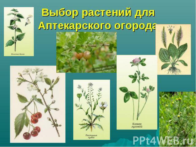 Выбор растений для Аптекарского огорода