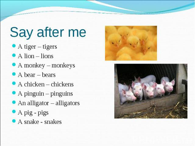 Say after me A tiger – tigers A lion – lions A monkey – monkeys A bear – bears A chicken – chickens A pinguin – pinguins An alligator – alligators A pig - pigs A snake - snakes