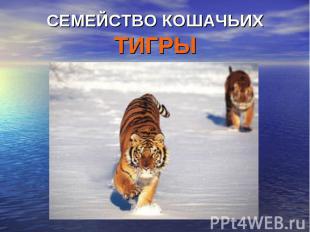 Семейство кошачьих тигры