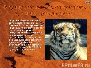 В длину этот тигр может достигать 2, 6 м и весить до 260 кг. Индийский (бенгальс