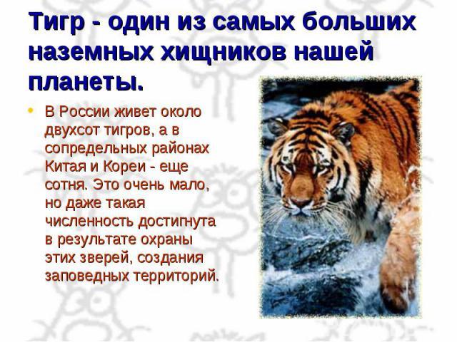 Тигр - один из самых больших наземных хищников нашей планеты. В России живет около двухсот тигров, а в сопредельных районах Китая и Кореи - еще сотня. Это очень мало, но даже такая численность достигнута в результате охраны этих зверей, создания зап…