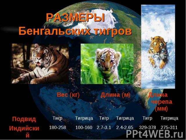 РАЗМЕРЫ Бенгальских тигров