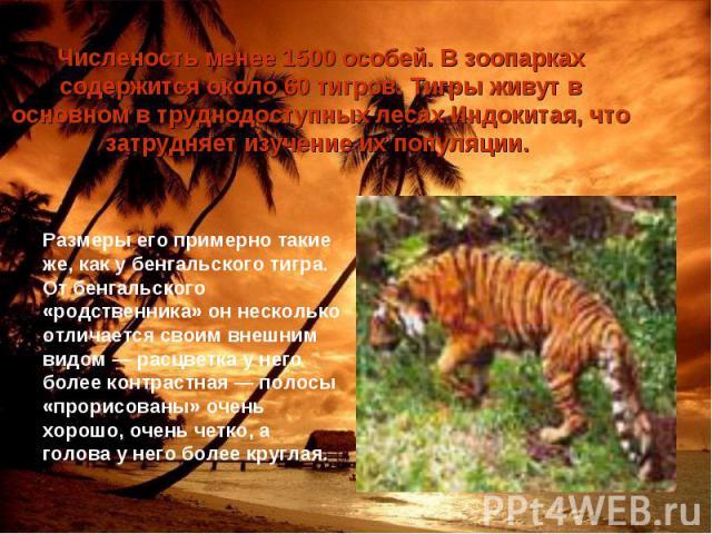 Численость менее 1500 особей. В зоопарках содержится около 60 тигров. Тигры живут в основном в труднодоступных лесах Индокитая, что затрудняет изучение их популяции. Размеры его примерно такие же, как у бенгальского тигра. От бенгальского «родственн…