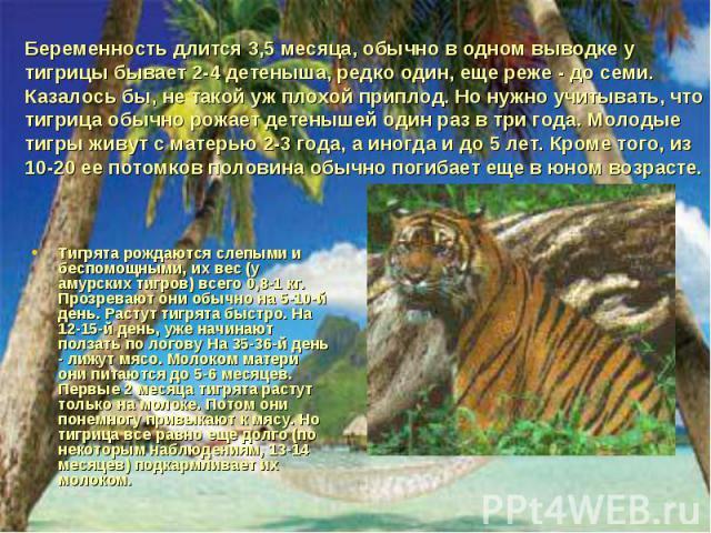 Беременность длится 3,5 месяца, обычно в одном выводке у тигрицы бывает 2-4 детеныша, редко один, еще реже - до семи. Казалось бы, не такой уж плохой приплод. Но нужно учитывать, что тигрица обычно рожает детенышей один раз в три года. Молодые тигры…