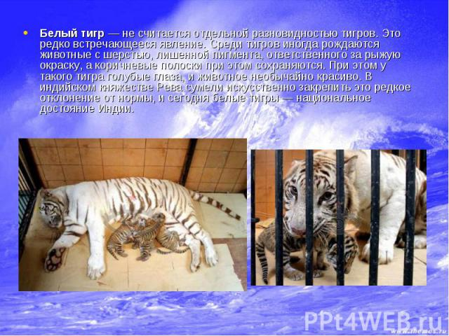 Белый тигр — не считается отдельной разновидностью тигров. Это редко встречающееся явление. Среди тигров иногда рождаются животные с шерстью, лишенной пигмента, ответственного за рыжую окраску, а коричневые полоски при этом сохраняются. При этом у т…