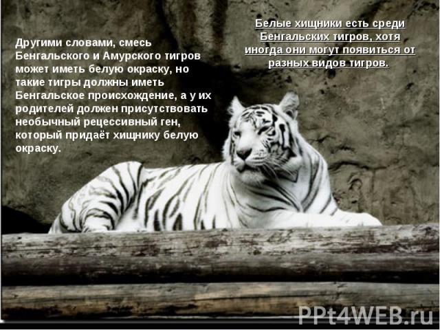 Другими словами, смесь Бенгальского и Амурского тигров может иметь белую окраску, но такие тигры должны иметь Бенгальское происхождение, а у их родителей должен присутствовать необычный рецессивный ген, который придаёт хищнику белую окраску. Белые х…