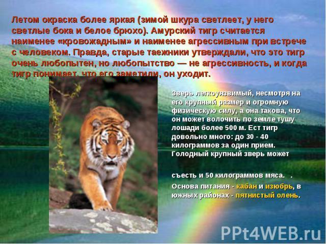 Летом окраска более яркая (зимой шкура светлеет, у него светлые бока и белое брюхо). Амурский тигр считается наименее «кровожадным» и наименее агрессивным при встрече с человеком. Правда, старые таежники утверждали, что это тигр очень любопытен, но …