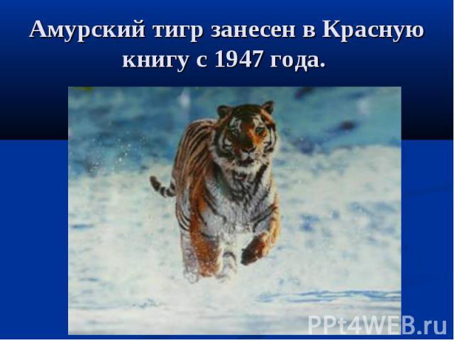 Амурский тигр занесен в Красную книгу с 1947 года.