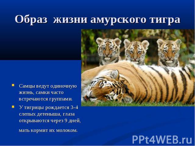 Образ жизни амурского тигра Самцы ведут одиночную жизнь, самки часто встречаются группами. У тигрицы рождается 3-4 слепых детеныша, глаза открываются через 9 дней, мать кормит их молоком.