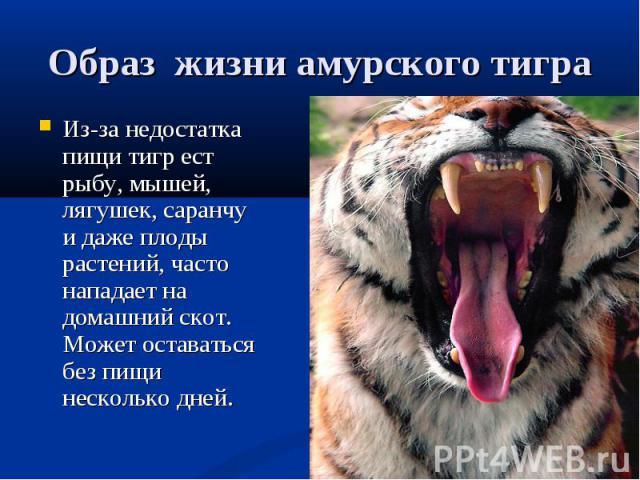 Образ жизни амурского тигра Из-за недостатка пищи тигр ест рыбу, мышей, лягушек, саранчу и даже плоды растений, часто нападает на домашний скот. Может оставаться без пищи несколько дней.