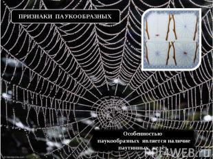 ПРИЗНАКИ ПАУКООБРАЗНЫХ Особенностью паукообразных является наличие паутинных жел