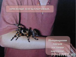 ПРИЗНАКИ ПАУКООБРАЗНЫХ Пищеварение пауков частично наружное.