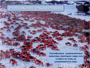 РАЗМНОЖЕНИЕ РАКООБРАЗНЫХ Ракообразные раздельнополые животные, некоторые виды хо