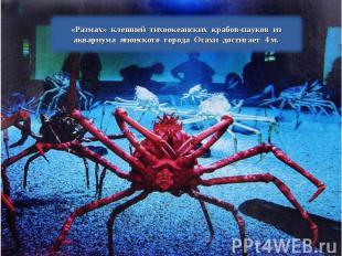 «Размах» клешней тихоокеанских крабов-пауков из аквариума японского города Осахи
