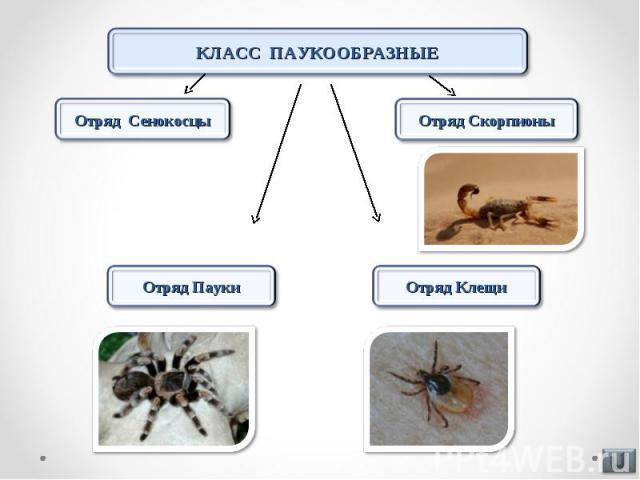 КЛАСС ПАУКООБРАЗНЫЕ Отряд Сенокосцы Отряд Скорпионы Отряд Пауки Отряд Клещи