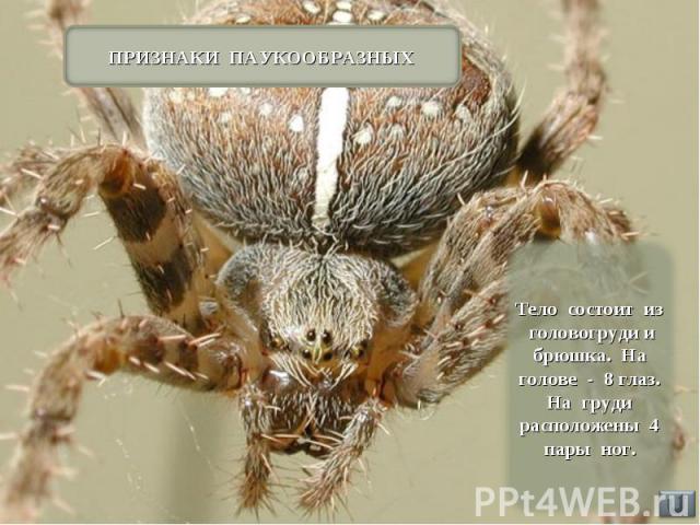 ПРИЗНАКИ ПАУКООБРАЗНЫХ Тело состоит из головогруди и брюшка. На голове - 8 глаз. На груди расположены 4 пары ног.