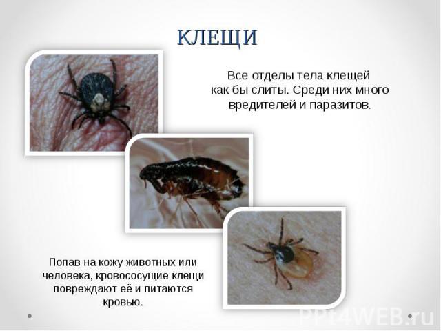 КЛЕЩИВсе отделы тела клещей как бы слиты. Среди них много вредителей и паразитов. Попав на кожу животных или человека, кровососущие клещи повреждают её и питаются кровью.