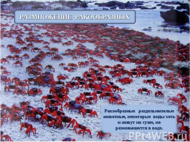 РАЗМНОЖЕНИЕ РАКООБРАЗНЫХ Ракообразные раздельнополые животные, некоторые виды хоть и живут на суше, но размножаются в воде.