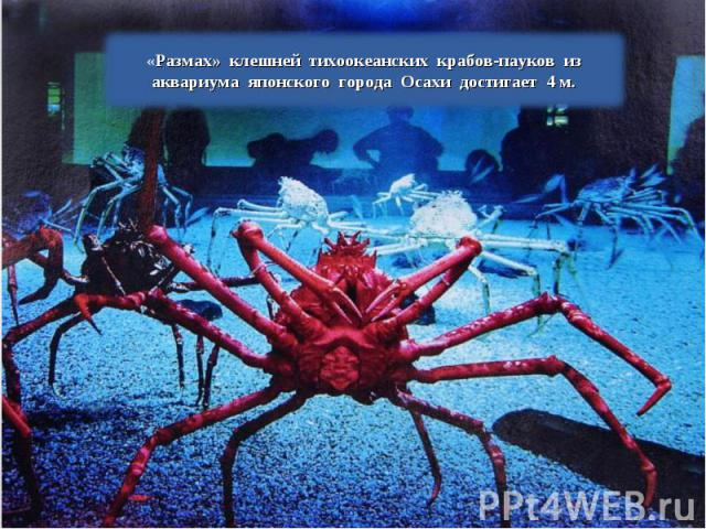 «Размах» клешней тихоокеанских крабов-пауков из аквариума японского города Осахи достигает 4 м.
