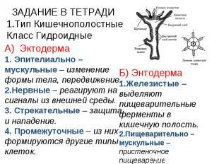 ЗАДАНИЕ В ТЕТРАДИ Тип Кишечнополостные Класс Гидроидные А) Эктодерма 1. Эпителиа