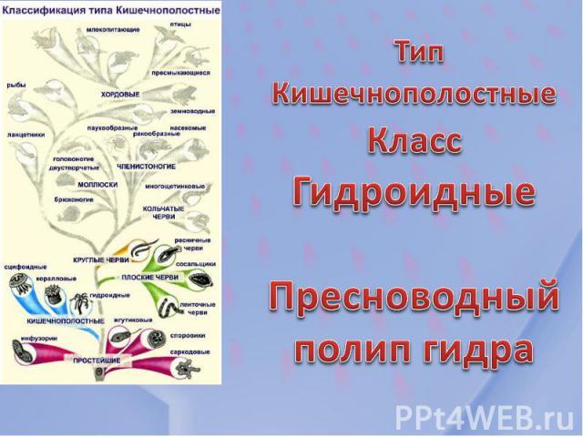 Тип Кишечнополостные Класс Гидроидные Пресноводный полип гидра