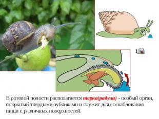В ротовой полости располагается терка(радула) - особый орган, покрытый твердыми