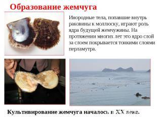 Образование жемчуга Инородные тела, попавшие внутрь раковины к моллюску, играют