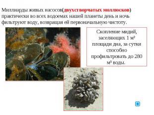 Миллиарды живых насосов(двухстворчатых моллюсков) практически во всех водоемах н