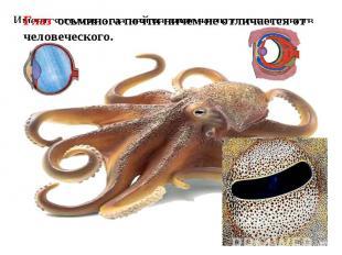 Глаз осьминога почти ничем не отличается от человеческого. Имеется голова - на н