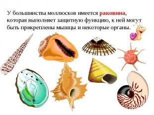 У большинства моллюсков имеется раковина, которая выполняет защитную функцию, к