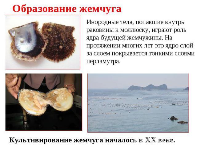 Образование жемчуга Инородные тела, попавшие внутрь раковины к моллюску, играют роль ядра будущей жемчужины. На протяжении многих лет это ядро слой за слоем покрывается тонкими слоями перламутра. Культивирование жемчуга началось в XX веке.
