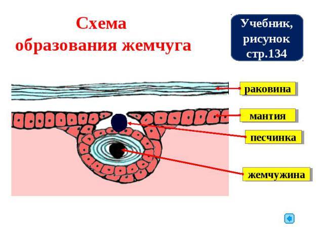 Схема образования жемчуга Учебник, рисунок стр.134