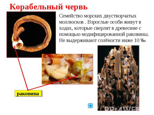 Корабельный червь Семейство морских двустворчатых моллюсков . Взрослые особи живут в ходах, которые сверлят в древесине с помощью модифицированной раковины. Не выдерживают солёности ниже 10‰