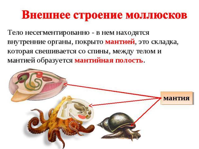 Внешнее строение моллюсков Тело несегментированно - в нем находятся внутренние органы, покрыто мантией, это складка, которая свешивается со спины, между телом и мантией образуется мантийная полость.