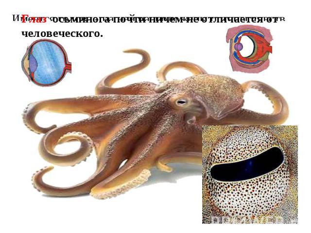 Глаз осьминога почти ничем не отличается от человеческого. Имеется голова - на ней расположены органы чувств.