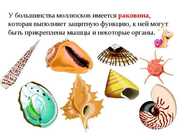 У большинства моллюсков имеется раковина, которая выполняет защитную функцию, к ней могут быть прикреплены мышцы и некоторые органы.