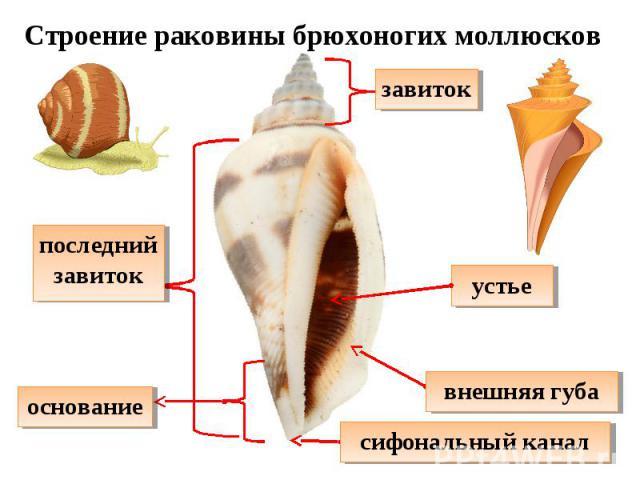 Строение раковины брюхоногих моллюсков последний завиток завиток основание