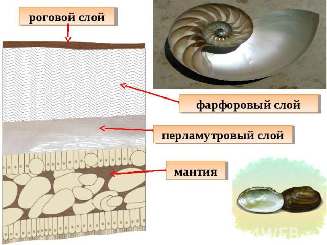 роговой слой фарфоровый слой перламутровый слой мантия