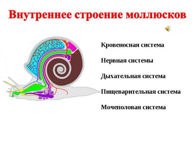 Внутреннее строение моллюсков Кровеносная система Нервная системы Дыхательная система Пищеварительная система Мочеполовая система