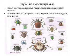Жуки, или жесткокрылые Имеют жесткие надкрылья, прикрывающих пару кожистых крыль