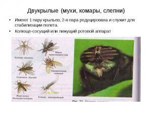 Двукрылые (мухи, комары, слепни) Имеют 1 пару крыльев, 2-я пара редуцирована и с