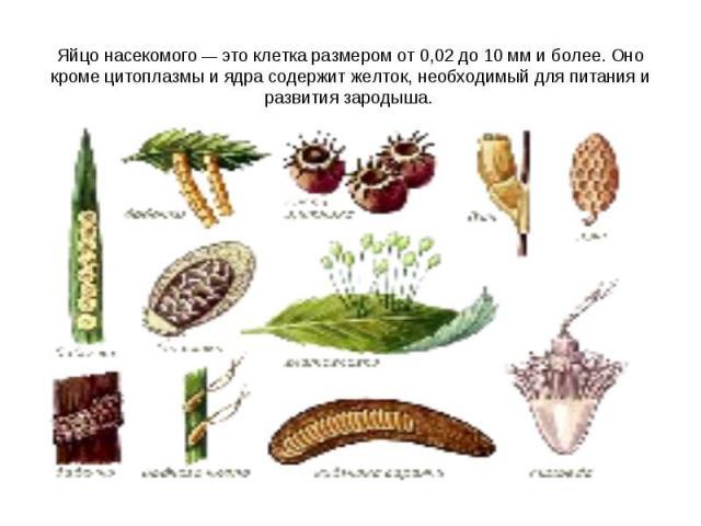 Яйцо насекомого— это клетка размером от 0,02 до 10 мм и более. Оно кроме цитоплазмы и ядра содержит желток, необходимый для питания и развития зародыша.