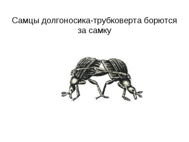 Самцы долгоносика-трубковерта борются за самку